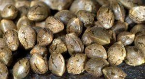 Variétés de graines : Ce qu'il faut savoir