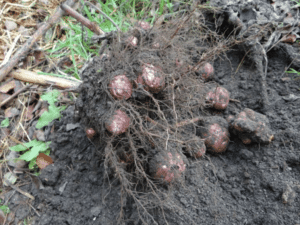 graines legumes anciens