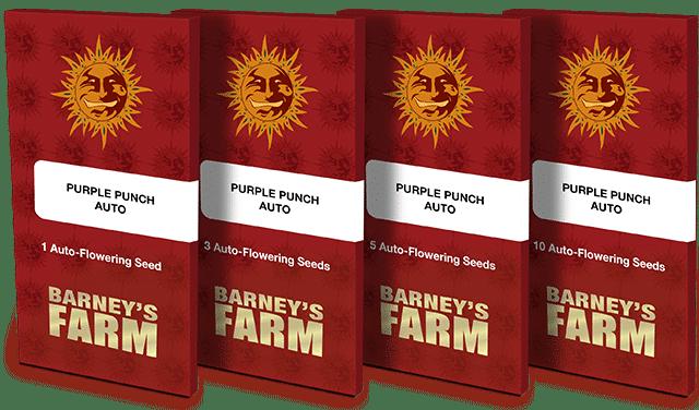 purple-punch-Auto-barneys-farm