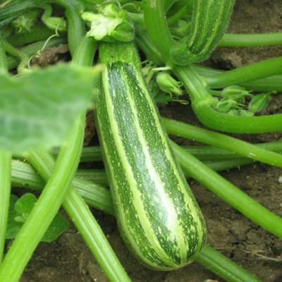 courgette Verte d'italie biologique