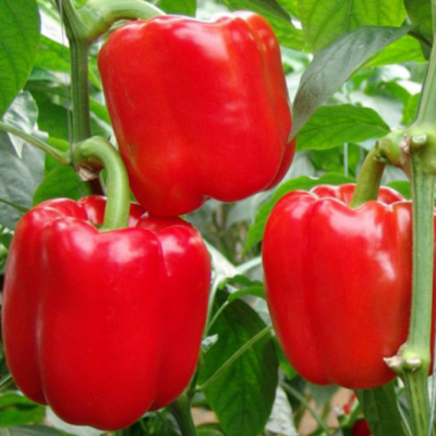 graines poivron d'asti rouge bio
