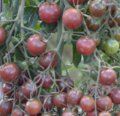 tomates cerise black cherry bio