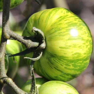 tomates green zebra bio