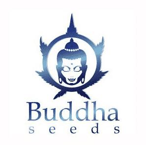 buddha seeds graines de cannabis de collection